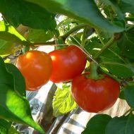 Alma papriky plněné rozinkami recept