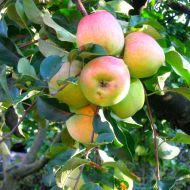 Sušená jablka  křížaly recept